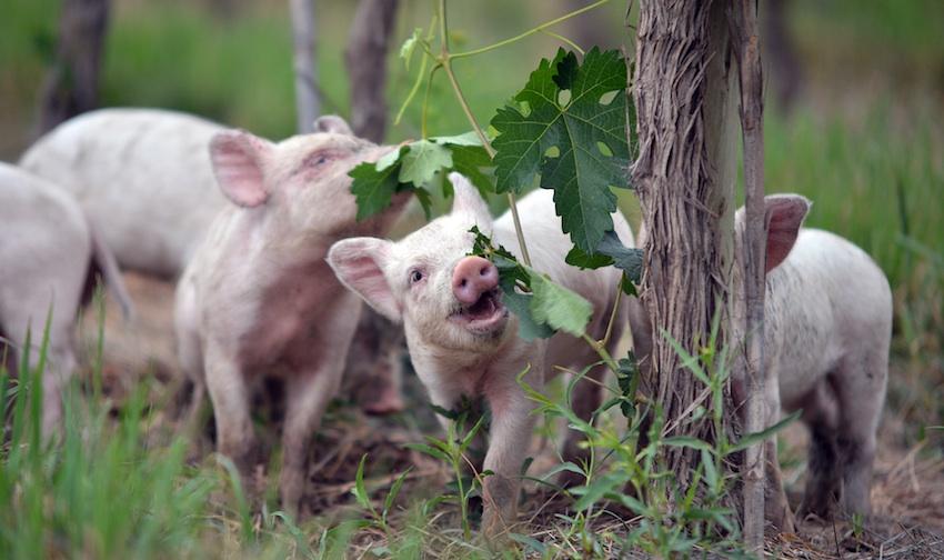 Argentina piglets