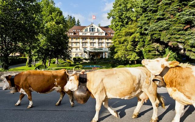 Gstaad Bellevue Cows