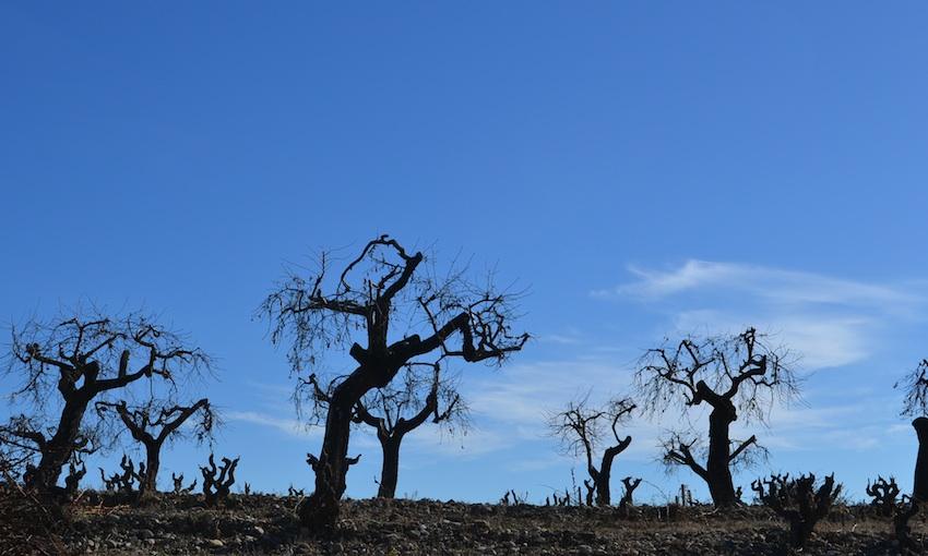 gnarly vines