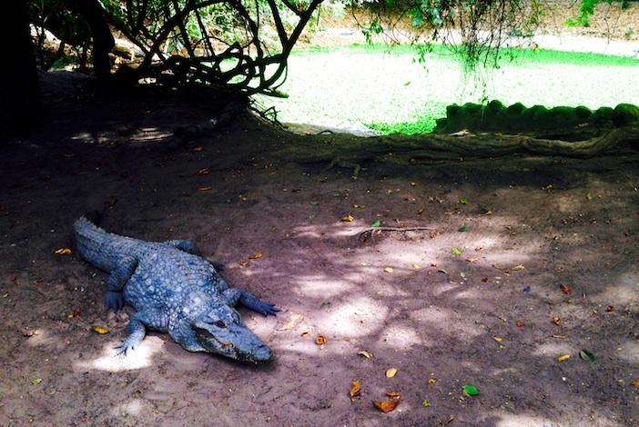 Gambia croc - David C