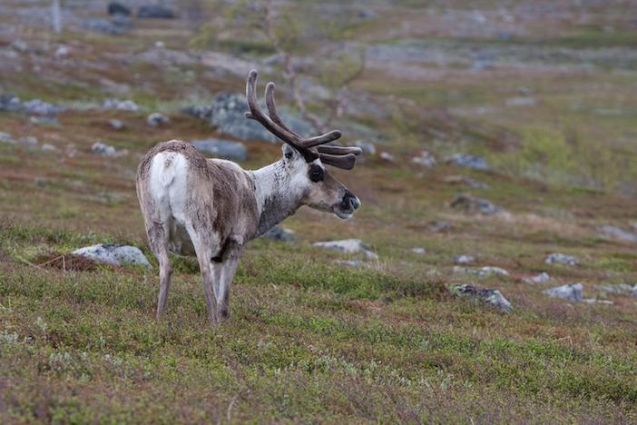 Sweden, Reindeer - Fredrik Broman